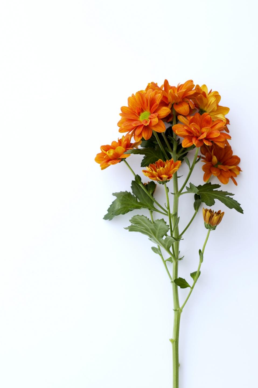 die chrysantheme eine blume strotzt vor symbolik toll was blumen machen. Black Bedroom Furniture Sets. Home Design Ideas
