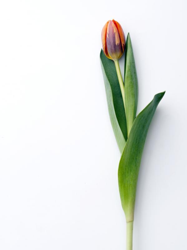 Herkunft der Tulpe - Tollwasblumenmachen.de
