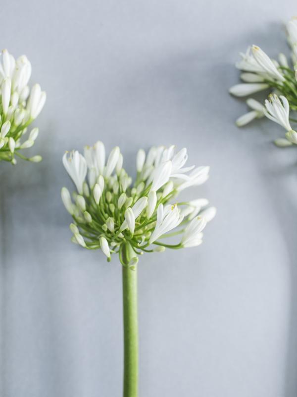 Schmucklilie Tollwasblumenmachen.de