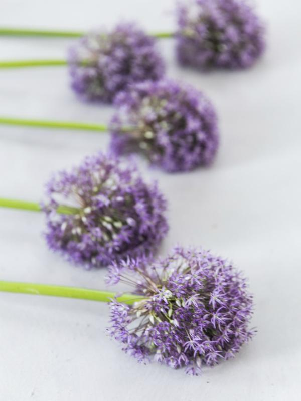 Allium - Zierlauch Tollwasblumenmachen.de