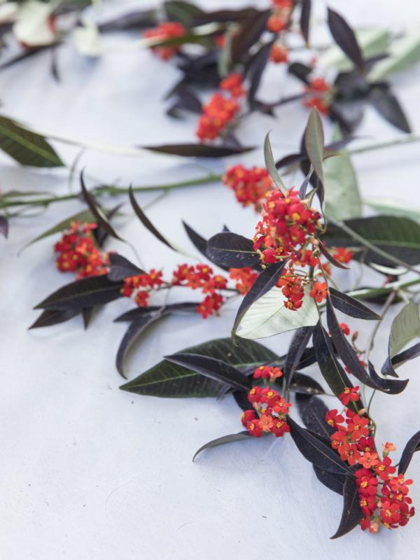 Euphorbia Tollwasblumenmachen.de