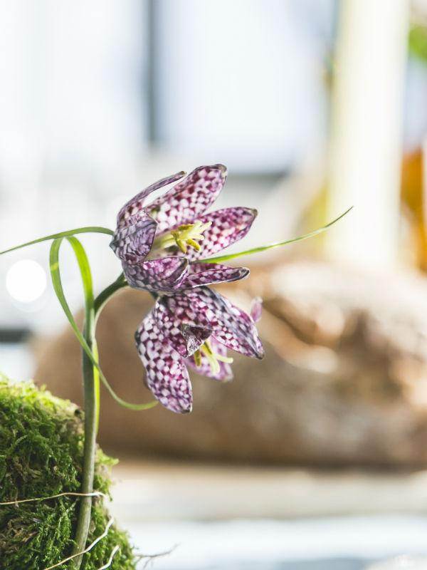 Fritillaria Tollwasblumenmachen.de