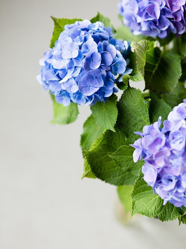 Hortensie - Tollwasblumenmachen.de