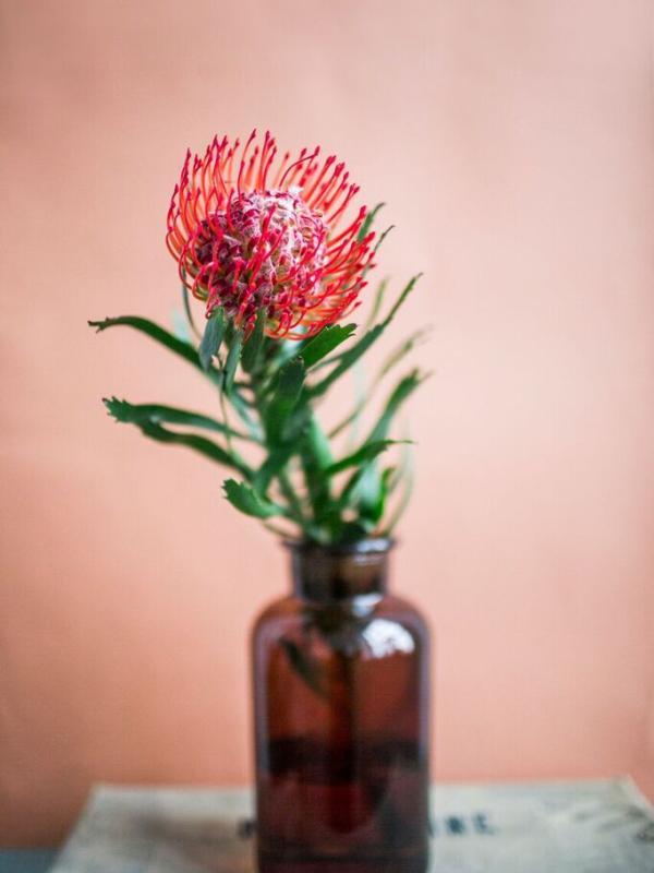 Nadelkissen-Protea - pflanzenfreude.de