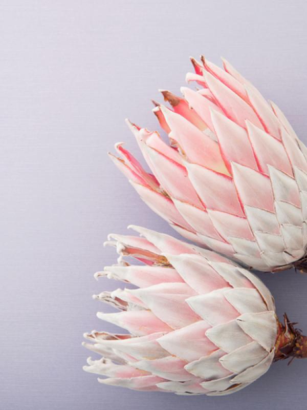 Protea Tollwasblumenmachen.de